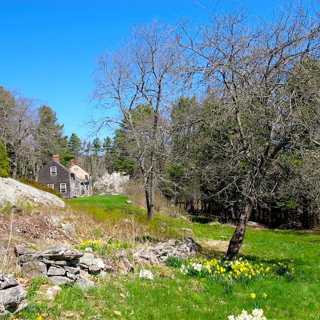 Daffodils Maine