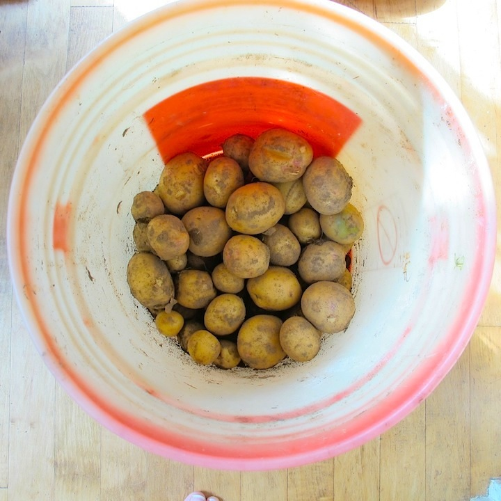 Potatoes1