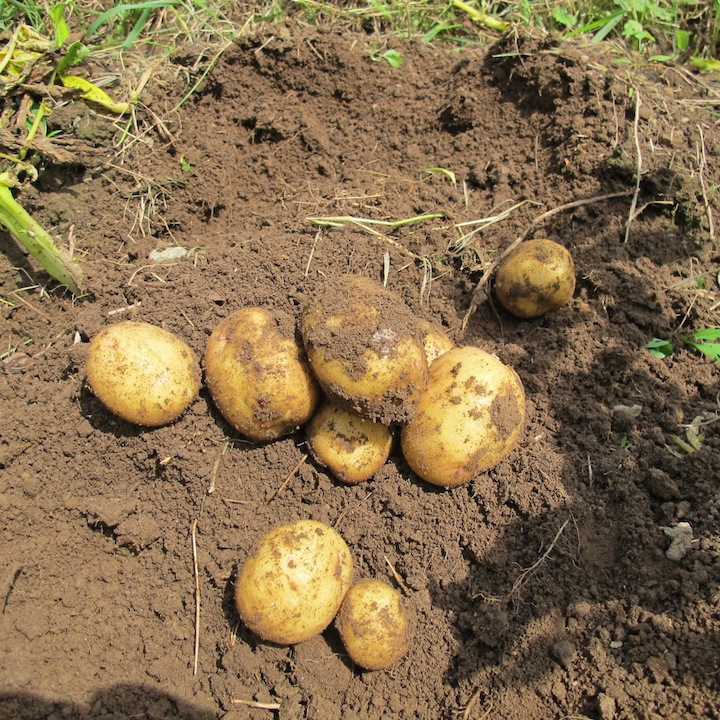 Potatoes in Maine