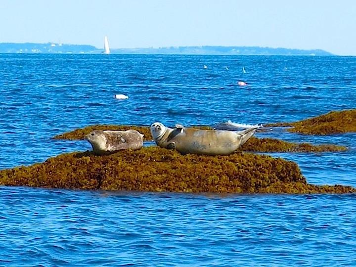 Sunning seals, Maine
