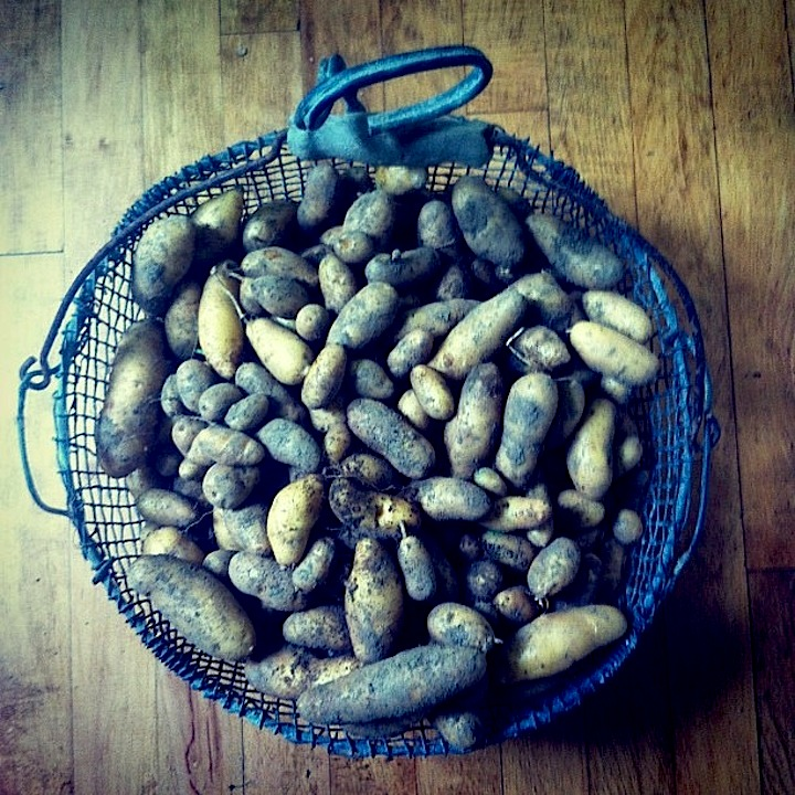 Organic Russian Banana Potatoes from BL Maine