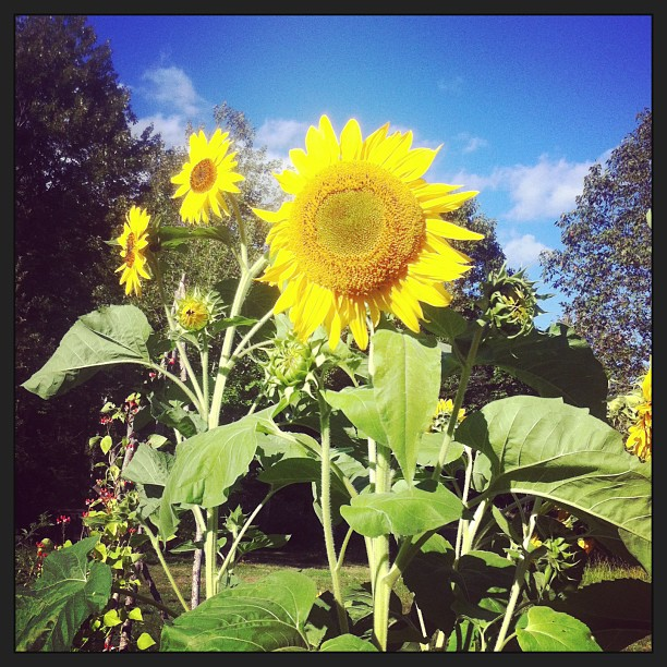 Sunflower in September Maine Organic Garden