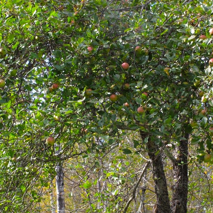 Apple Tree Maine