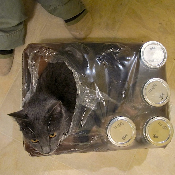 Kitty in canning jars