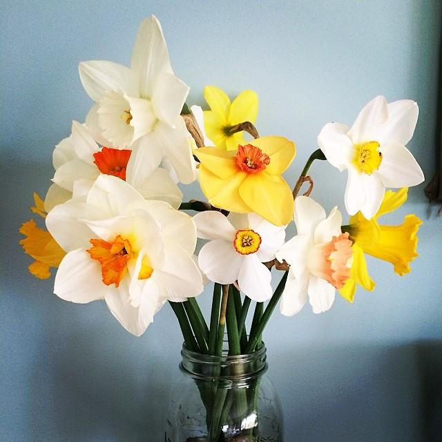 Daffodils in Maine