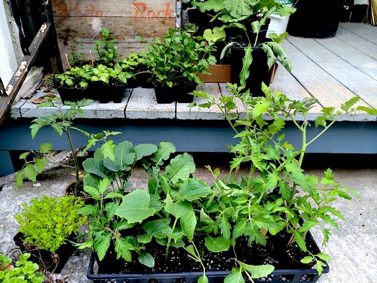 Seedlings 2014-05-23 10.33.45 copy