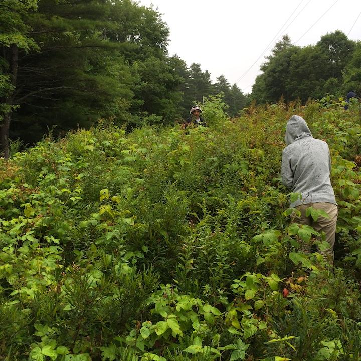 2014-08-13 10.27.39 Picking Blackberries