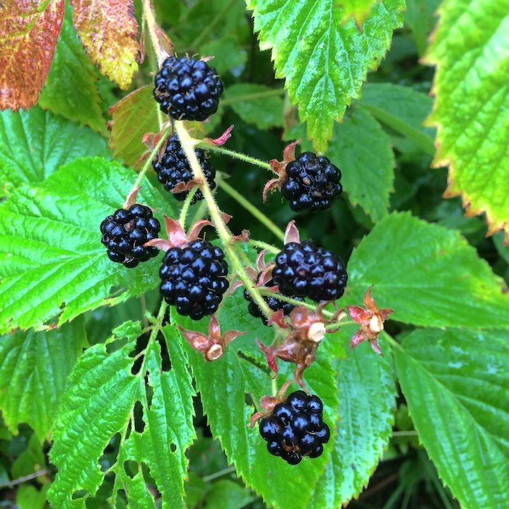 Wild Blackberries, Maine