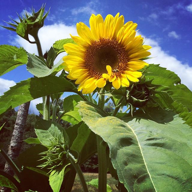 First tall sunflower my garden - Erica Berman