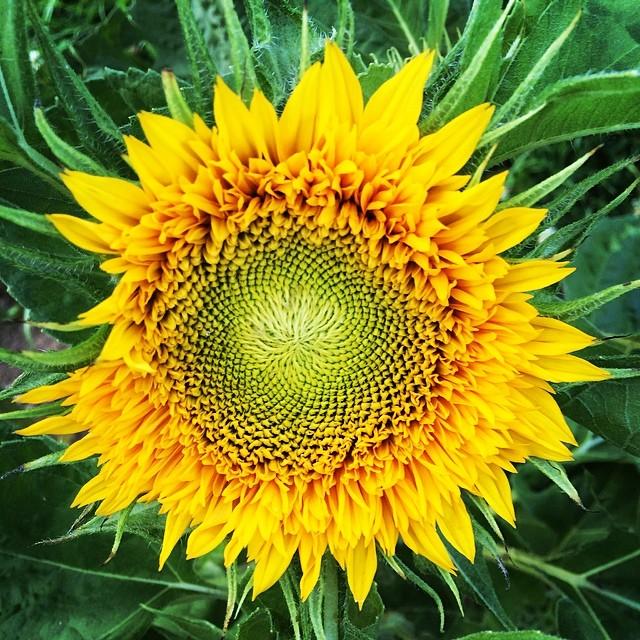 Sunflowers Maine