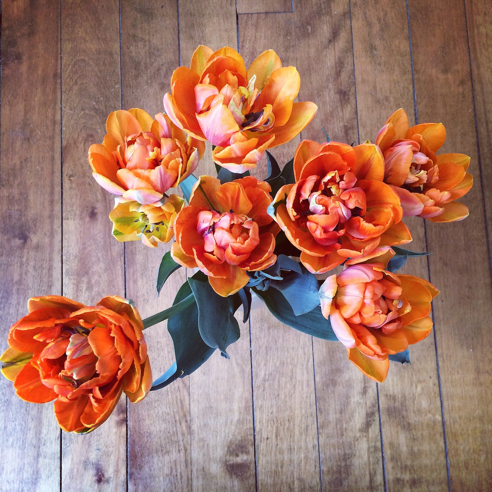 Tulips, Maine, orange princessm=