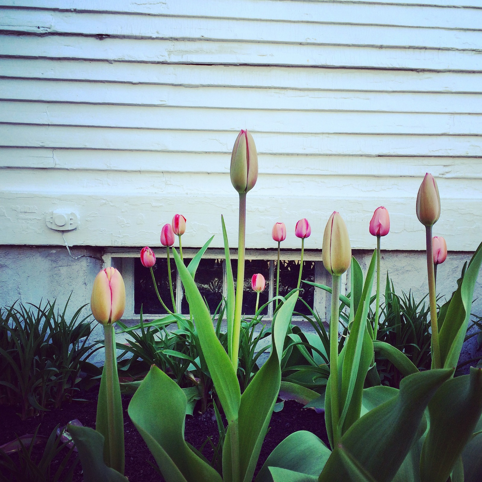 Tulips in Maine. Spring is here.