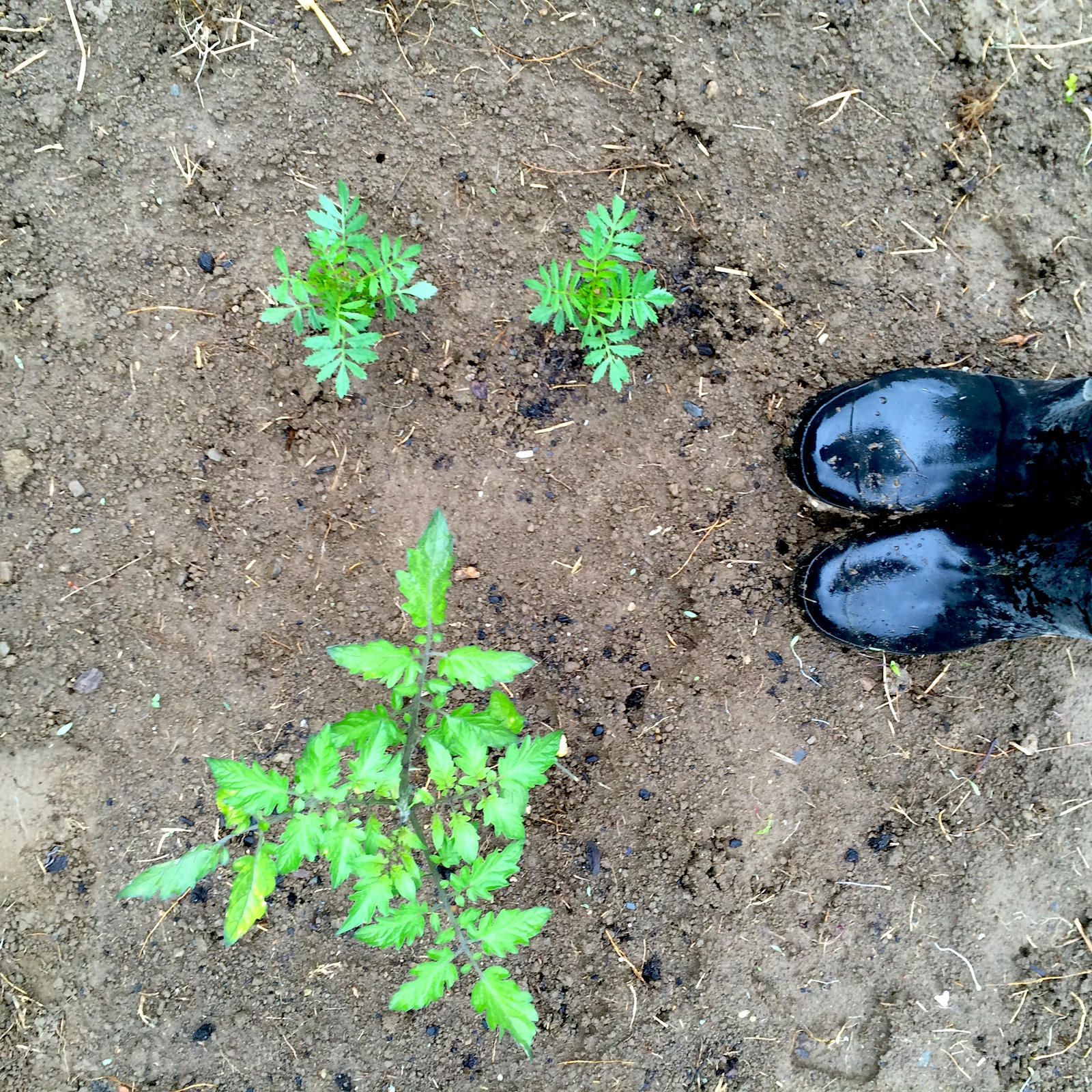 Tomatoes, Marigolds and Hunter Boots