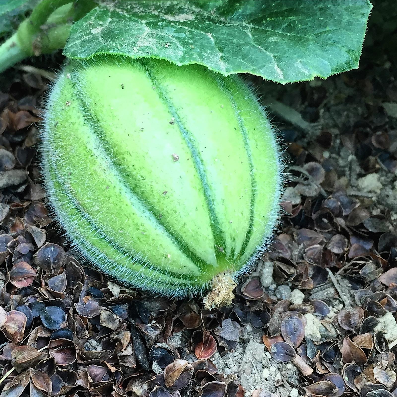 organic melon maine