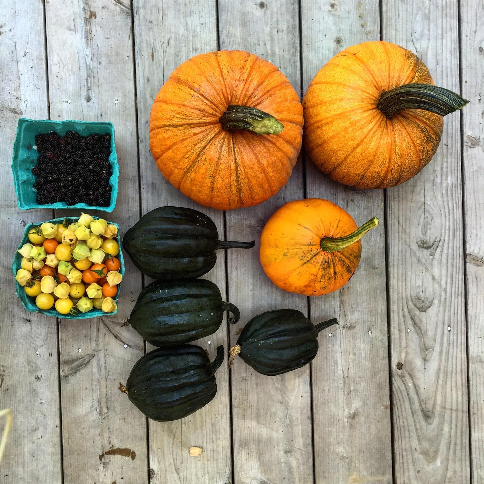 Pumpkins, Husk cherries, Squash, Tomatoes Maine