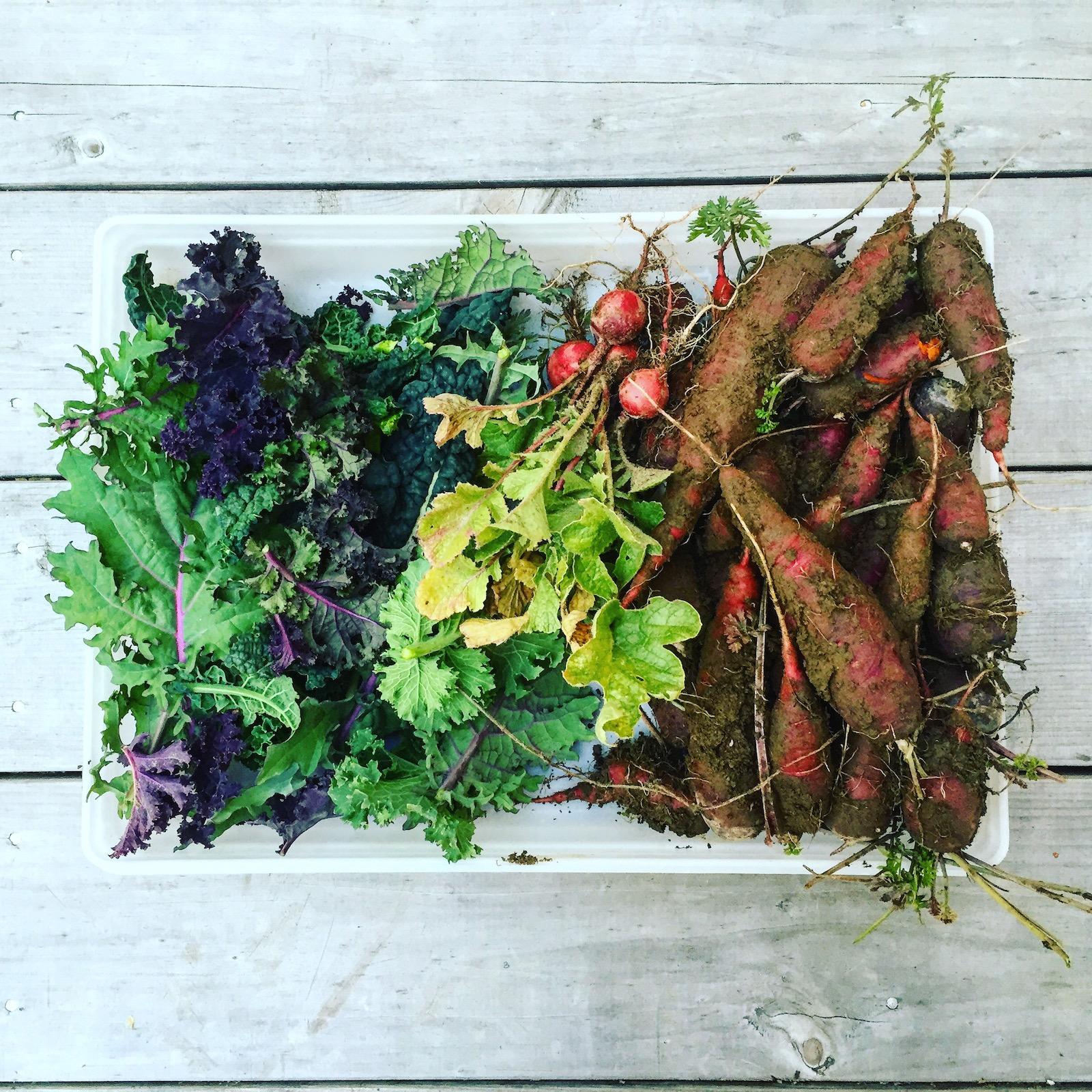 kale, carrots, radishes. Maine and organic.