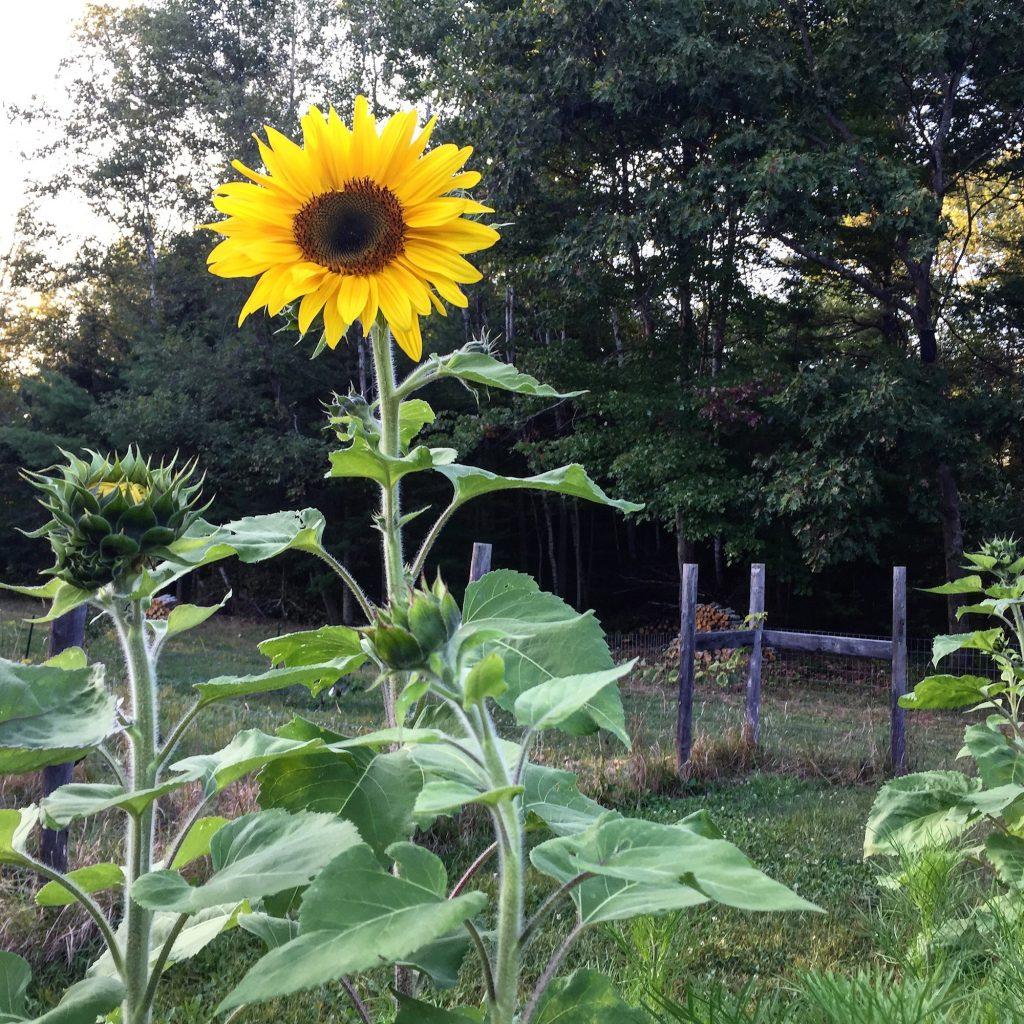 Sunflower from Garden September 2017